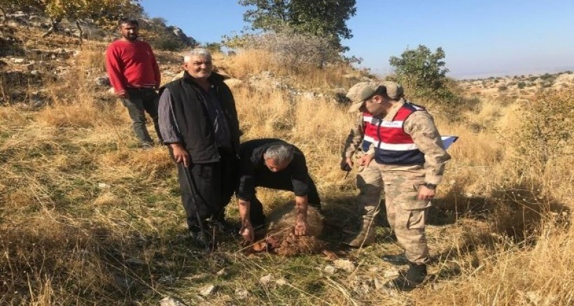 Gaziantep'te Aç Kurtlar Koyun Sürüsüne Saldırdı