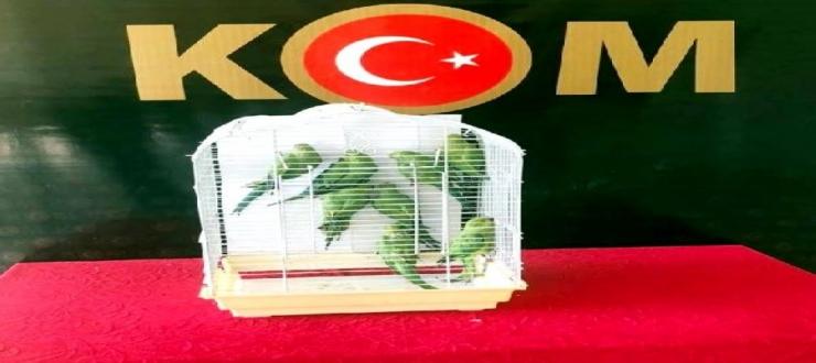 Gaziantep'te, kaçak yollarla getirilen 8 Pakistan papağanı korumaya alındı