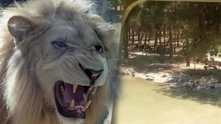 Kafesini parçalayan aslan 3 kişiyi yaraladı